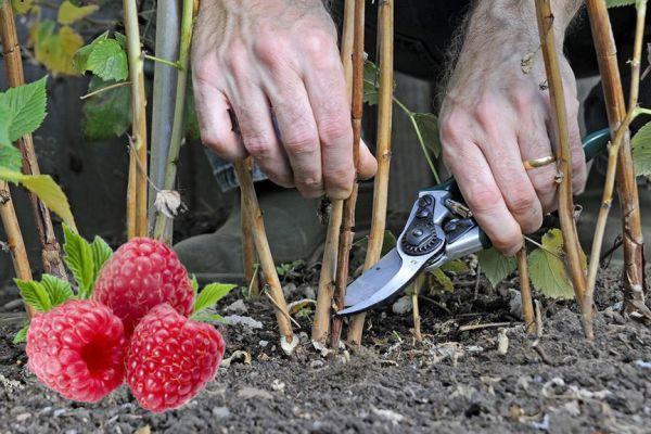 Ухаживаем за малиной правильно чтобы был хороший урожай