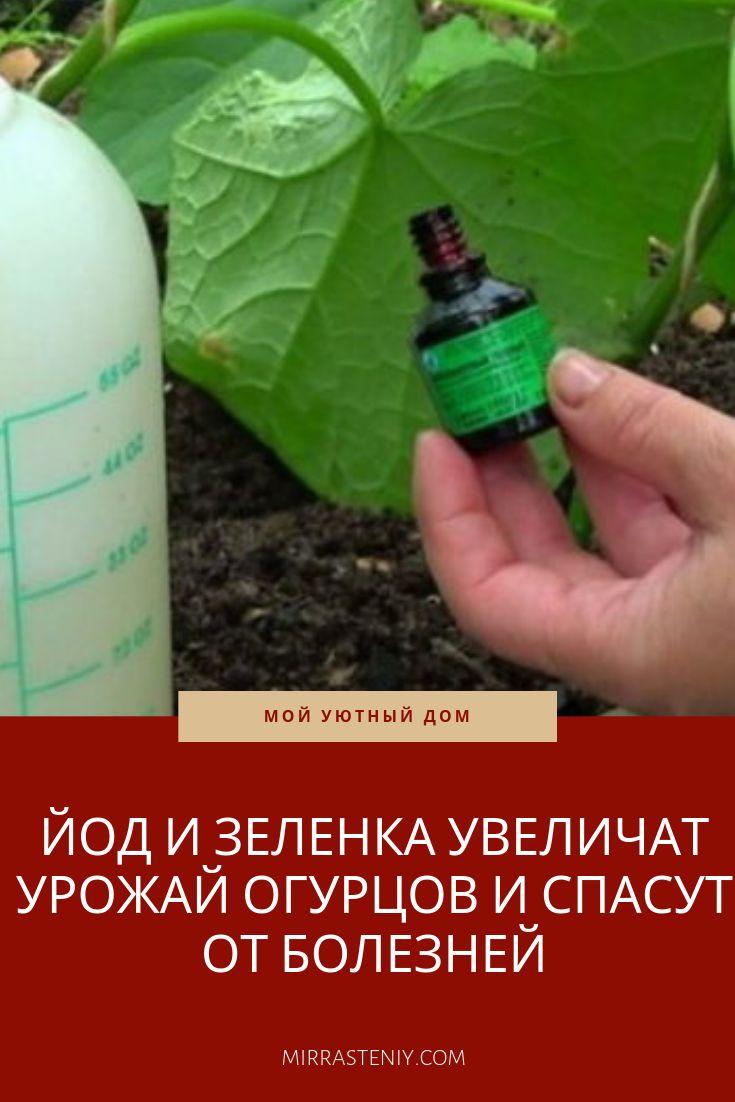 Правила обработки и подкормки огурцов зеленкой и йодом, борьба с болезнями