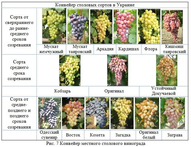 """Подробное описание винограда сорта """"красотка"""""""