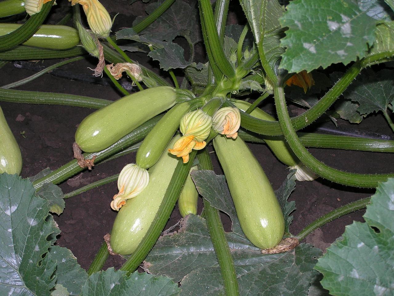 Кабачок сорта нежный зефир: особенности выращивания и ухода