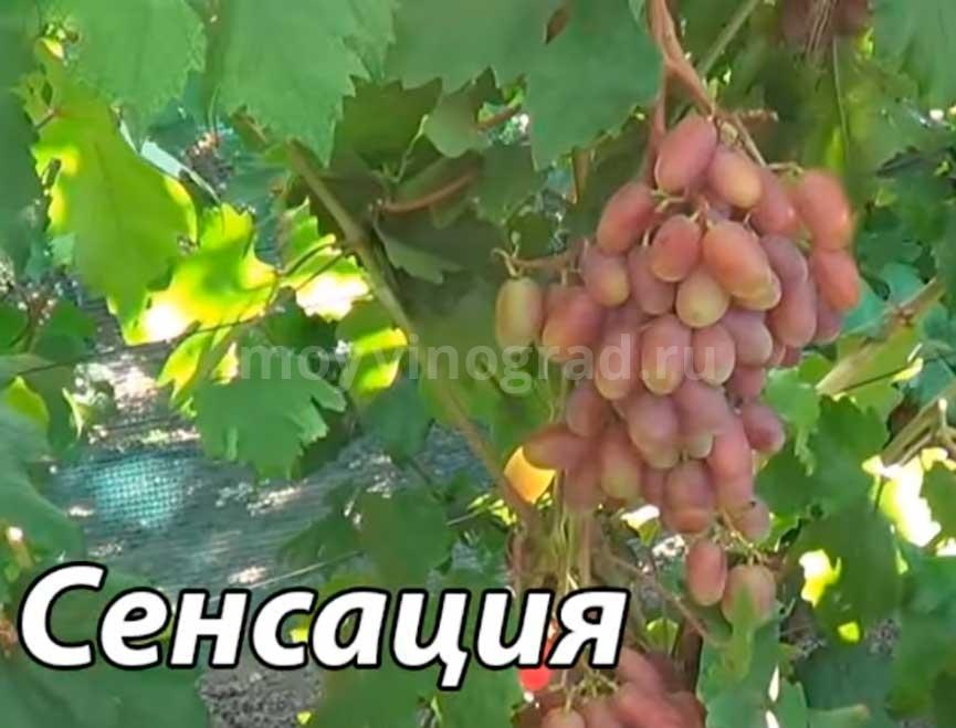 Описание сорта винограда сенсация: фото и отзывы | vinograd-loza