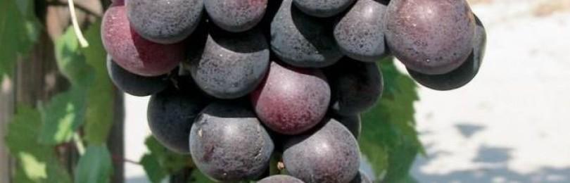 Виноград кардинал: описание сорта, размножение и уход