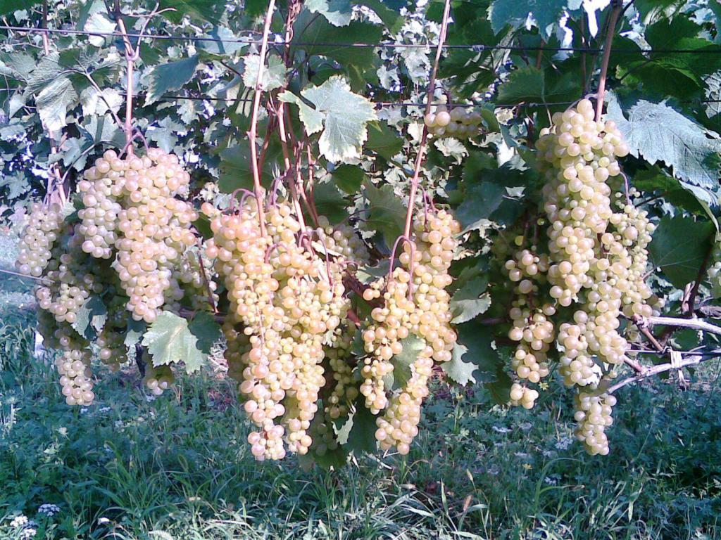 ᐉ ркацители розовый – грузинский сорт винограда - roza-zanoza.ru