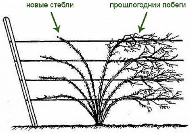 Ежевика садовая посадка и уход: 5 золотых правил подготовки к зиме