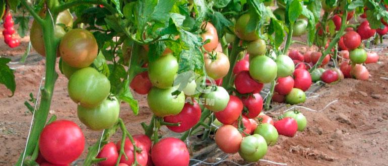 """Томат """"пинк гел f1"""": характеристика и описание сорта помидор с фото кустов, отзывы об урожайности"""