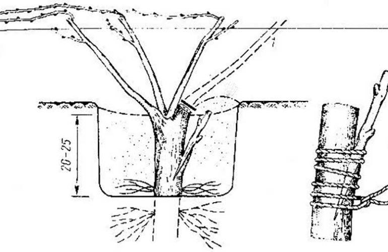 Как привить виноград весной для начинающих: сроки, способы и пошаговые инструкции
