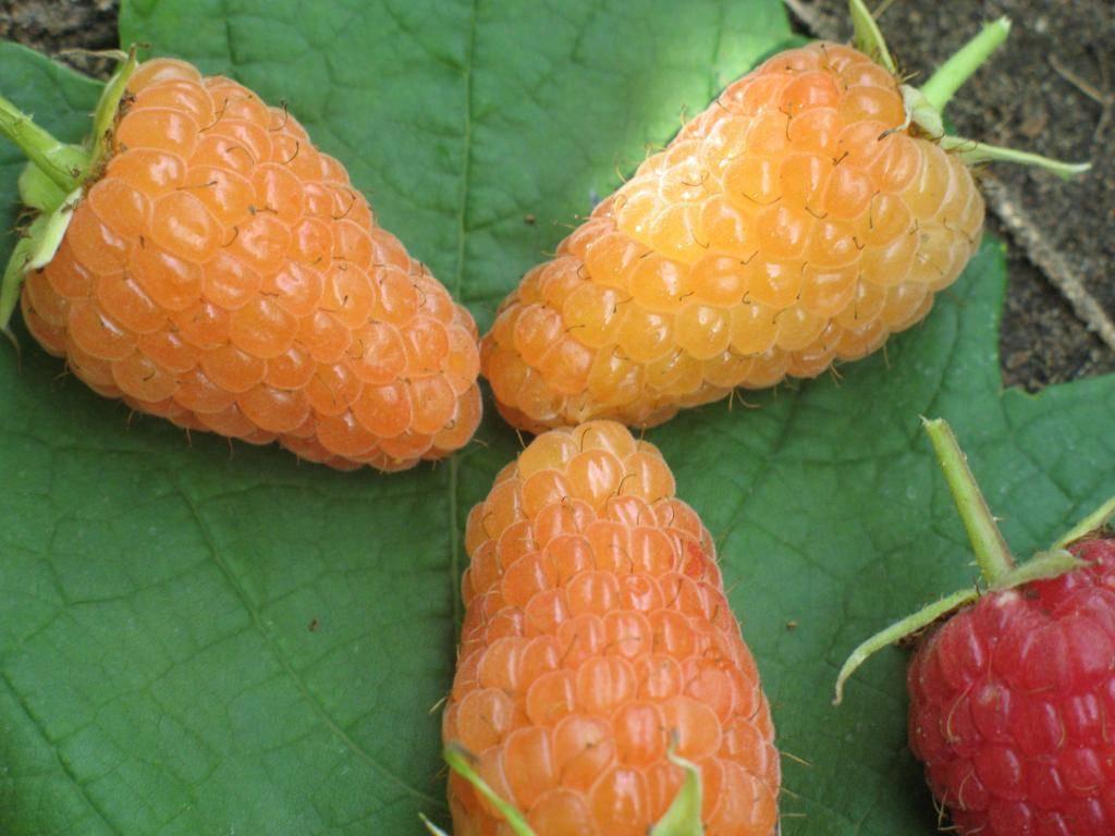 Ремонтантная малина «оранжевое чудо»: характеристика, агротехника выращивания, обрезка