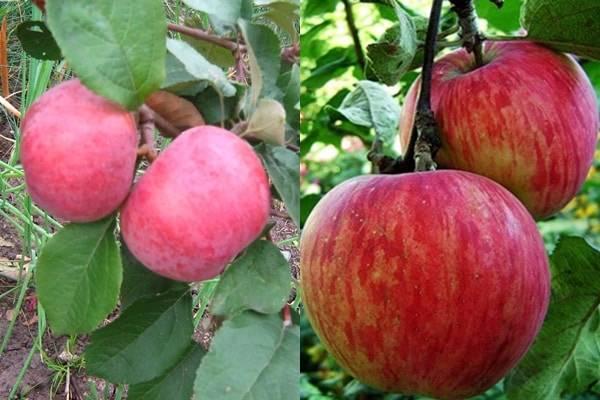 Яблоня коричное полосатое: посадка, уход и урожайность