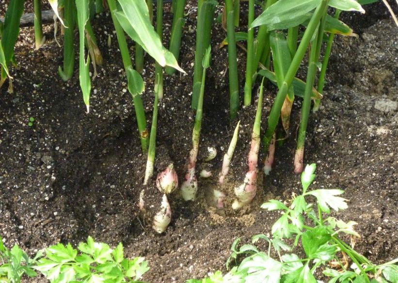 Как правильно выращивать имбирь на даче в открытом грунте, посадка и уход