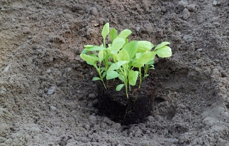 Астра альпийская (37 фото): описание многолетнего травянистого растения для открытого грунта. правила посадки и ухода