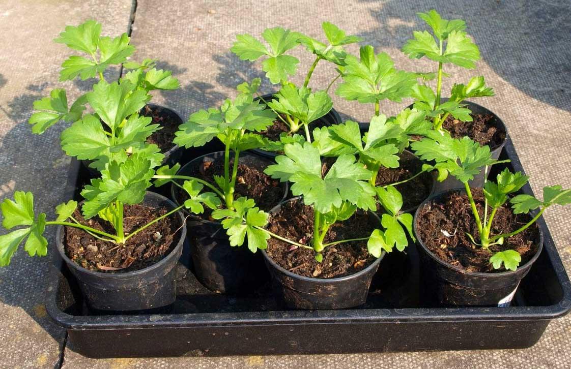 Посадка зелени в огороде: пошаговая инструкция