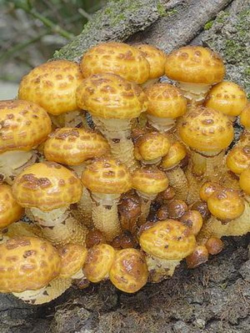 Чешуйчатка обыкновенная ( pholiota squarrosa): съедобный гриб: описание, где растет