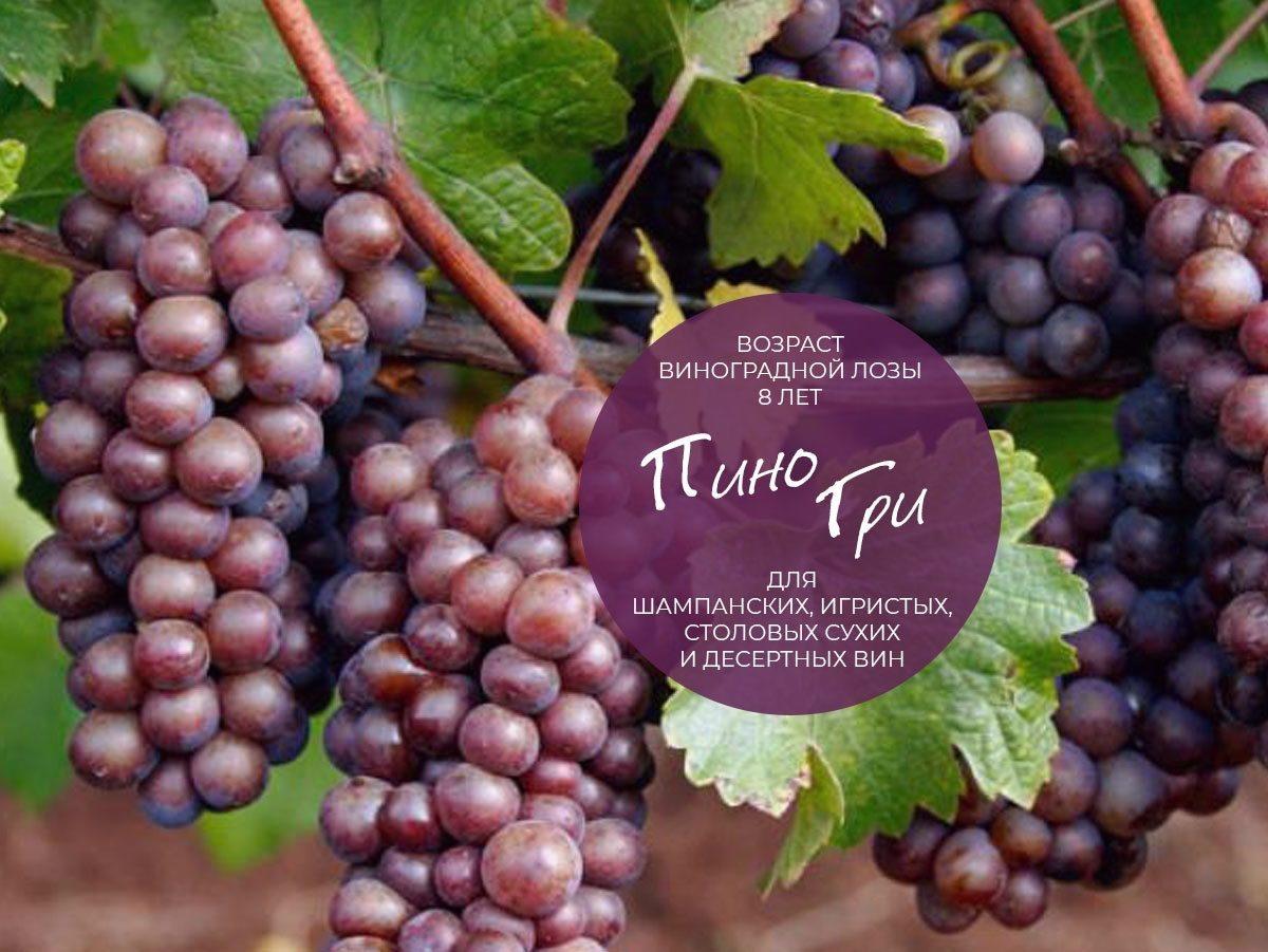 Виноград лорано: описание и характеристики сорта, технология выращивания
