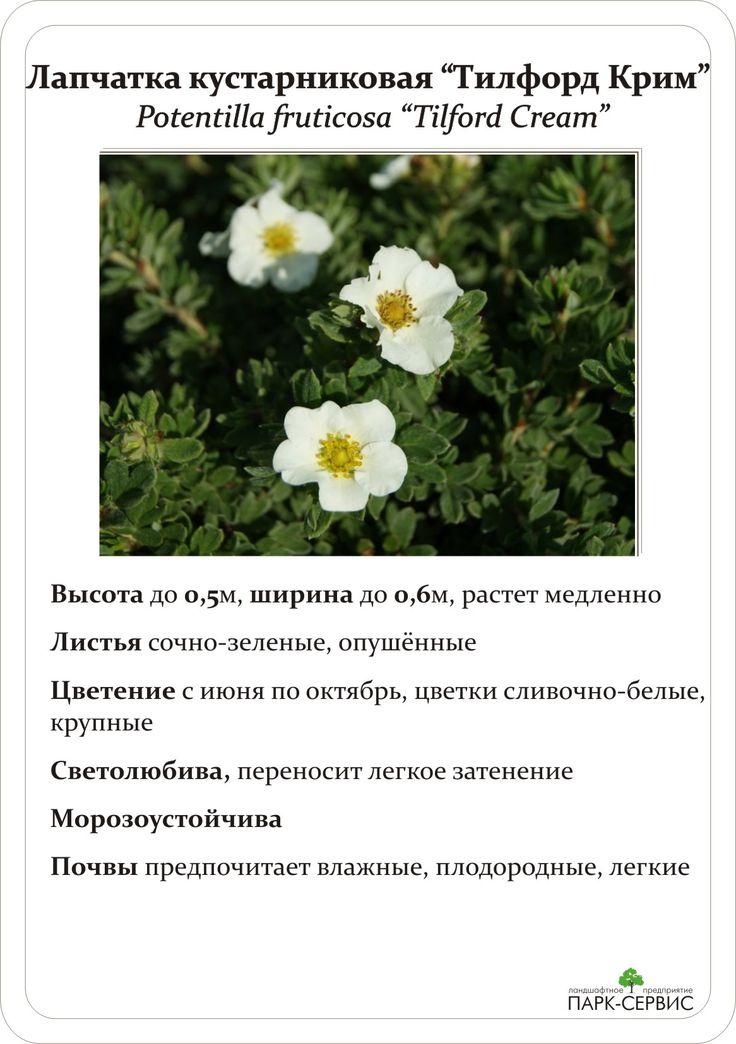 Лапчатка кустарниковая — красивейший многолетник