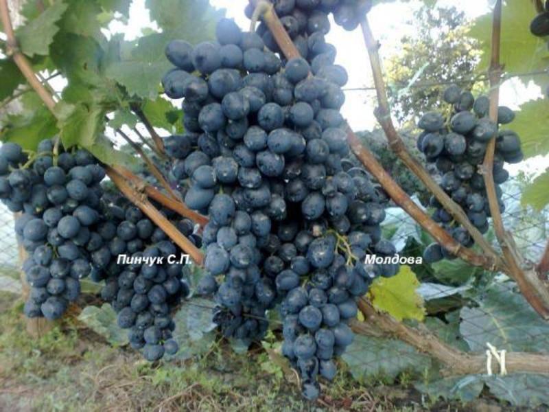 Виноград сорта молдова: характерные особенности, посадка и уход - постройки