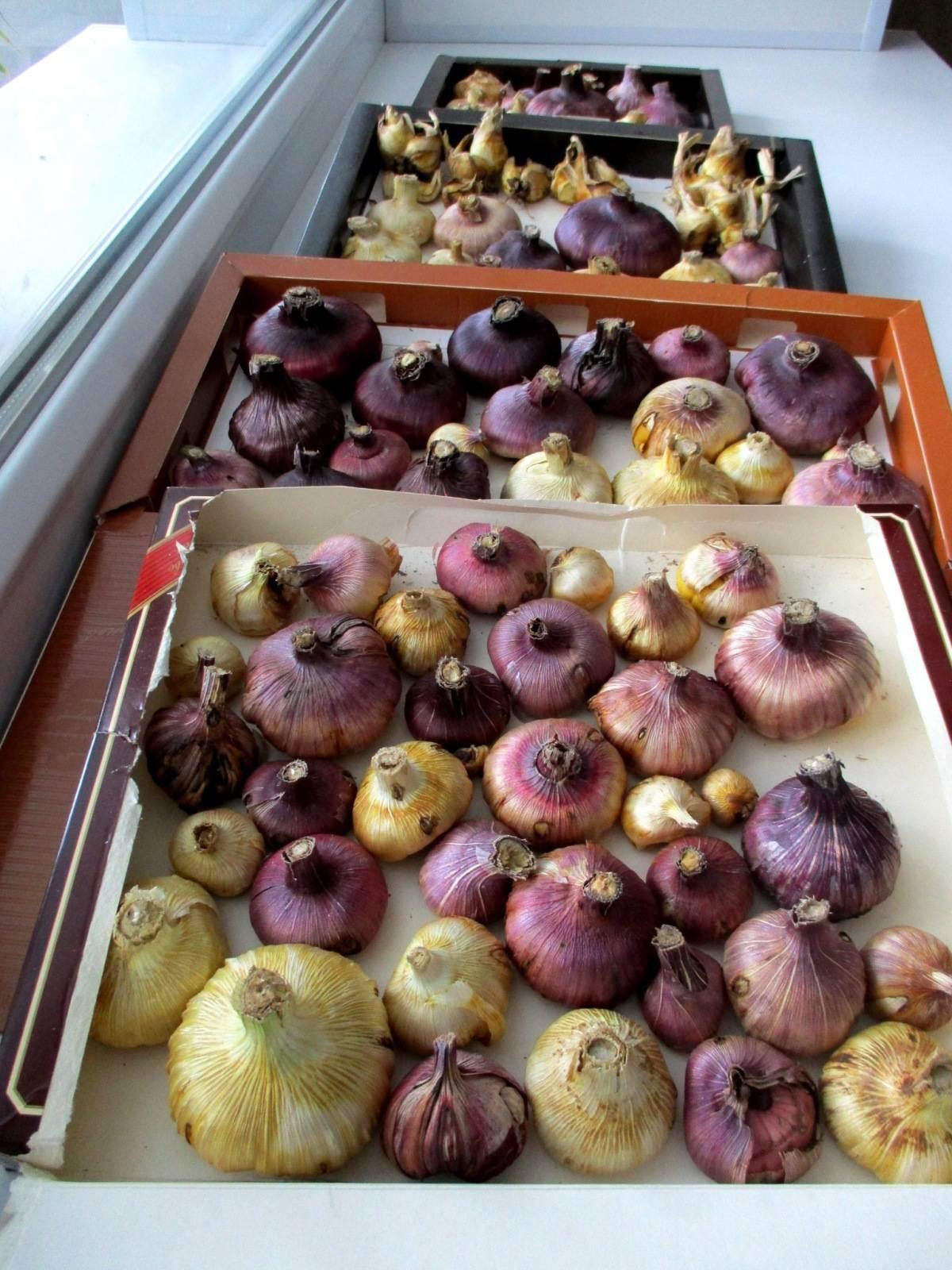 Когда выкапывать гладиолусы осенью и как хранить?