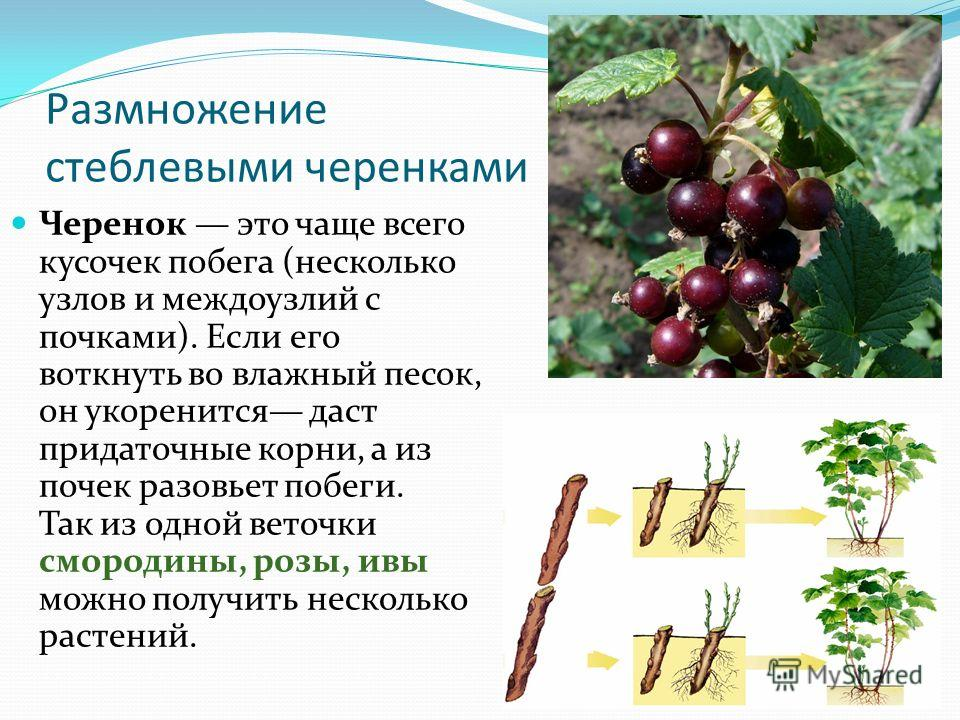 Виноград монарх: описание сорта