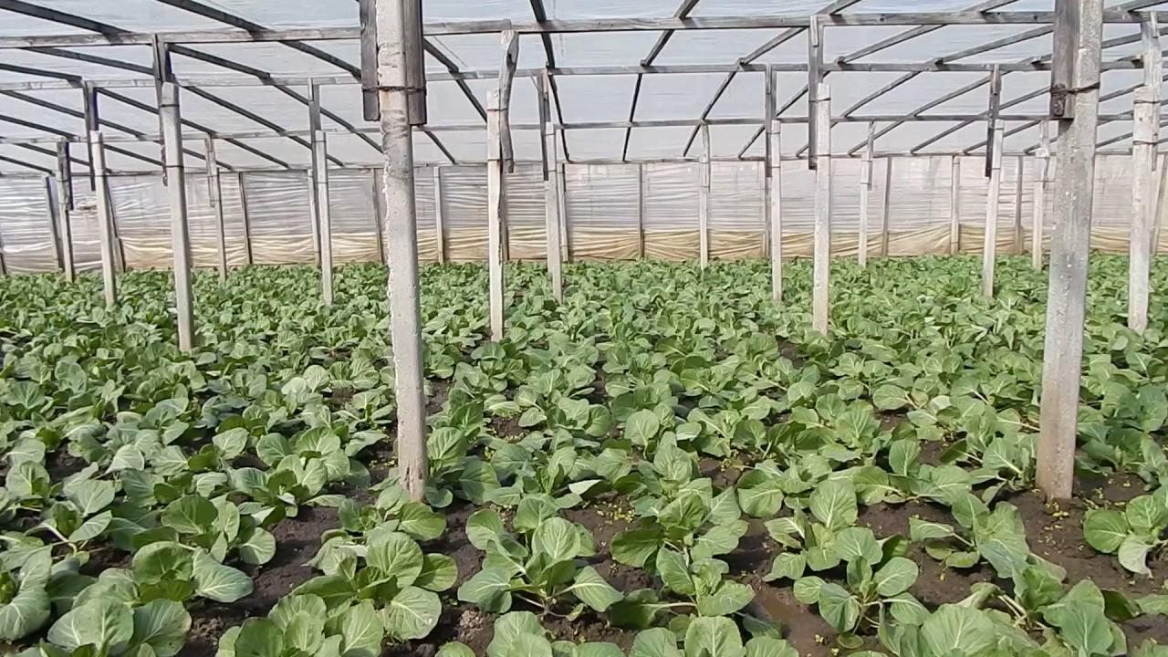 Пекинская капуста: выращивание на огороде, сорта