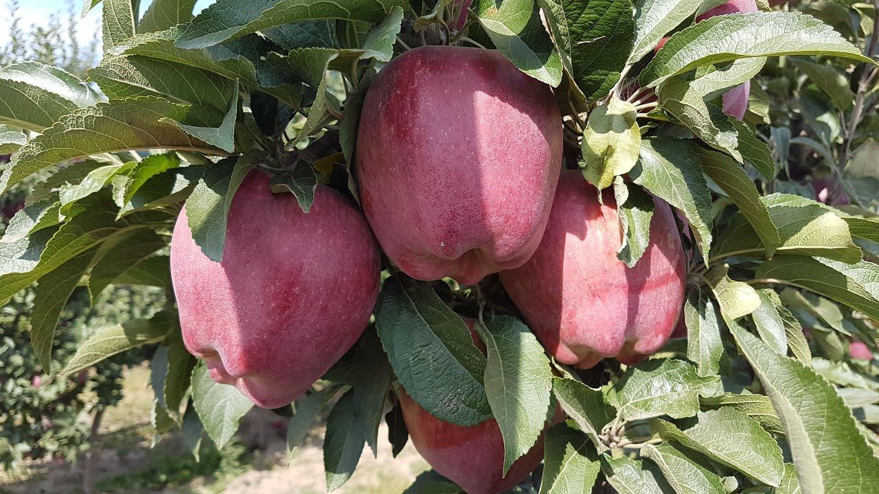 Выращивание и уход за яблоней сорта ред фри