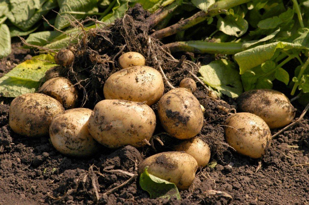 Описание сорта картофеля лаура