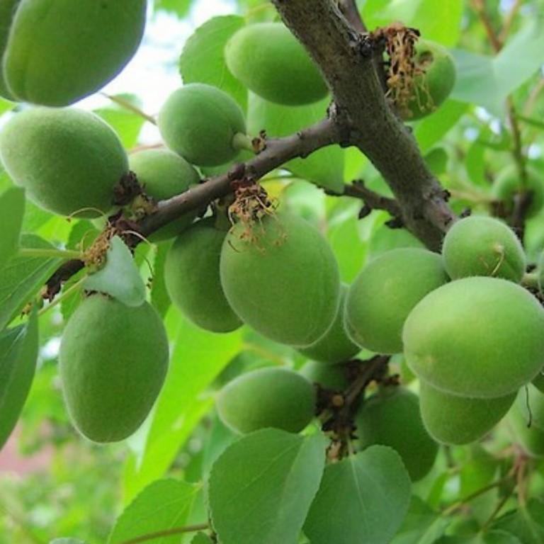 Почему абрикос сбрасывает зеленые плоды наиболее частые причины