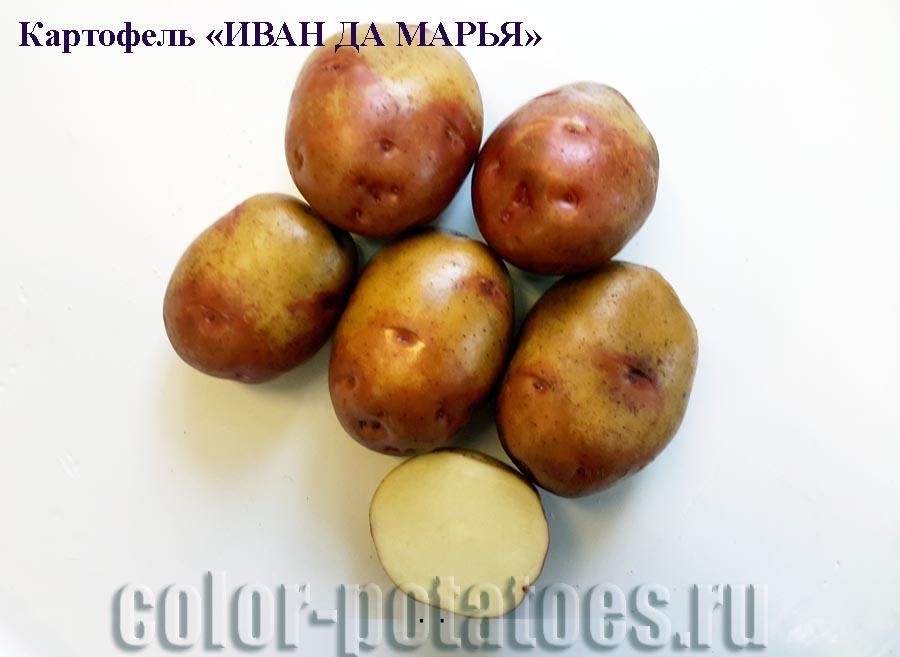 Сорт разноцветного картофеля иван-да-марья: описание и правила выращивания