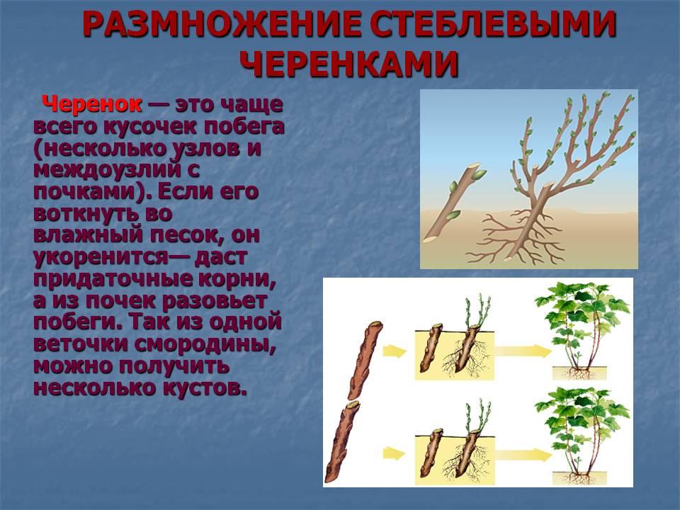 Самые эффективные способы размножения ежевики