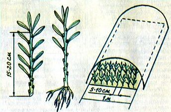 Пять способов размножения облепихи