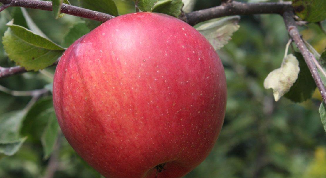Все о сорте яблони коричное полосатое