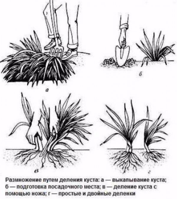 Как правильно посадить хрен в открытый грунт: посадка черенками и семенами