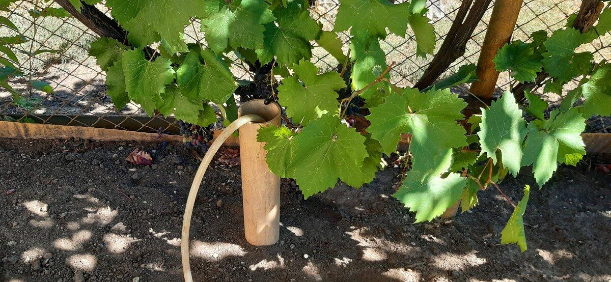 Учимся как правильно нужно поливать виноград