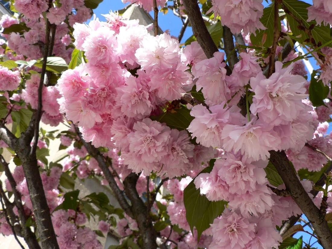 Декоративная японская вишня - незаменимое украшение сада