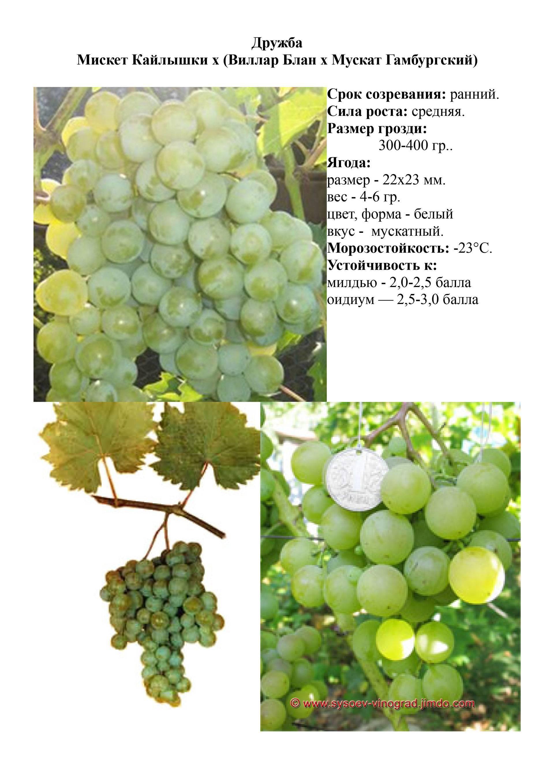 Сорт винограда красотка с отзывами + описание и уход за ним