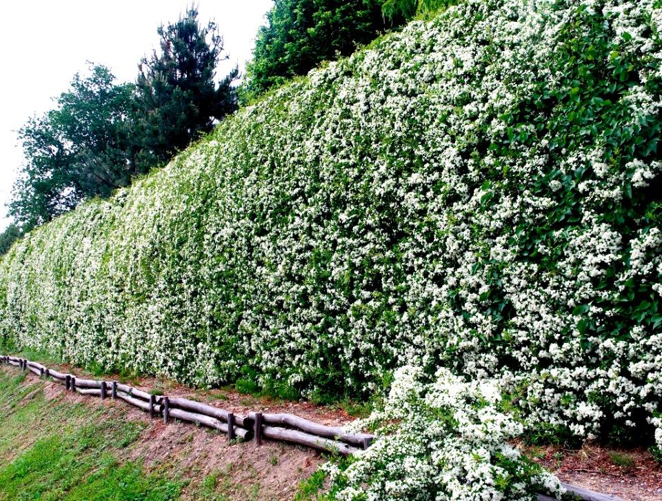 Правила обрезки и формирования чубушника, после цветения: как омолодить, сформировать