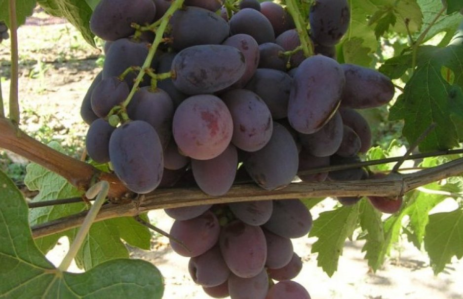 Выращивание винограда для начинающих