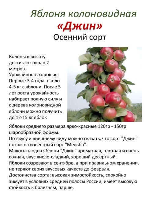 Колоновидная яблоня валюта - фото и описание сорта