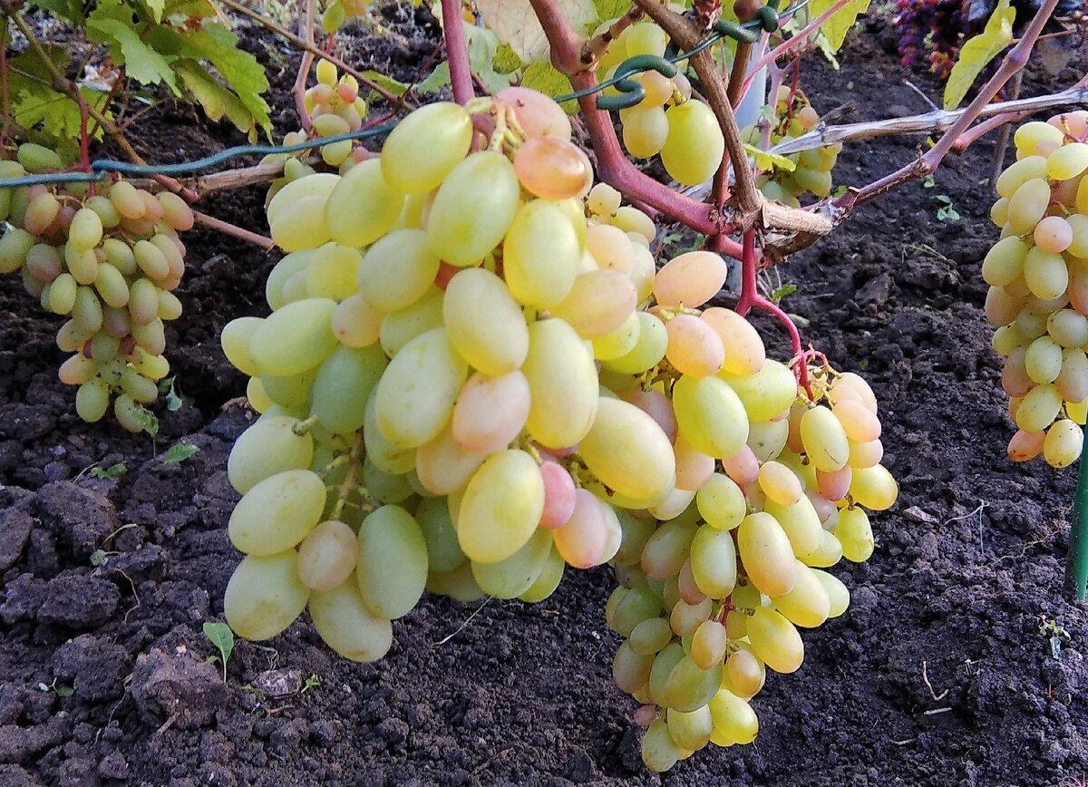 Виноград юбилей новочеркасска: описание сорта, отзывы и фото