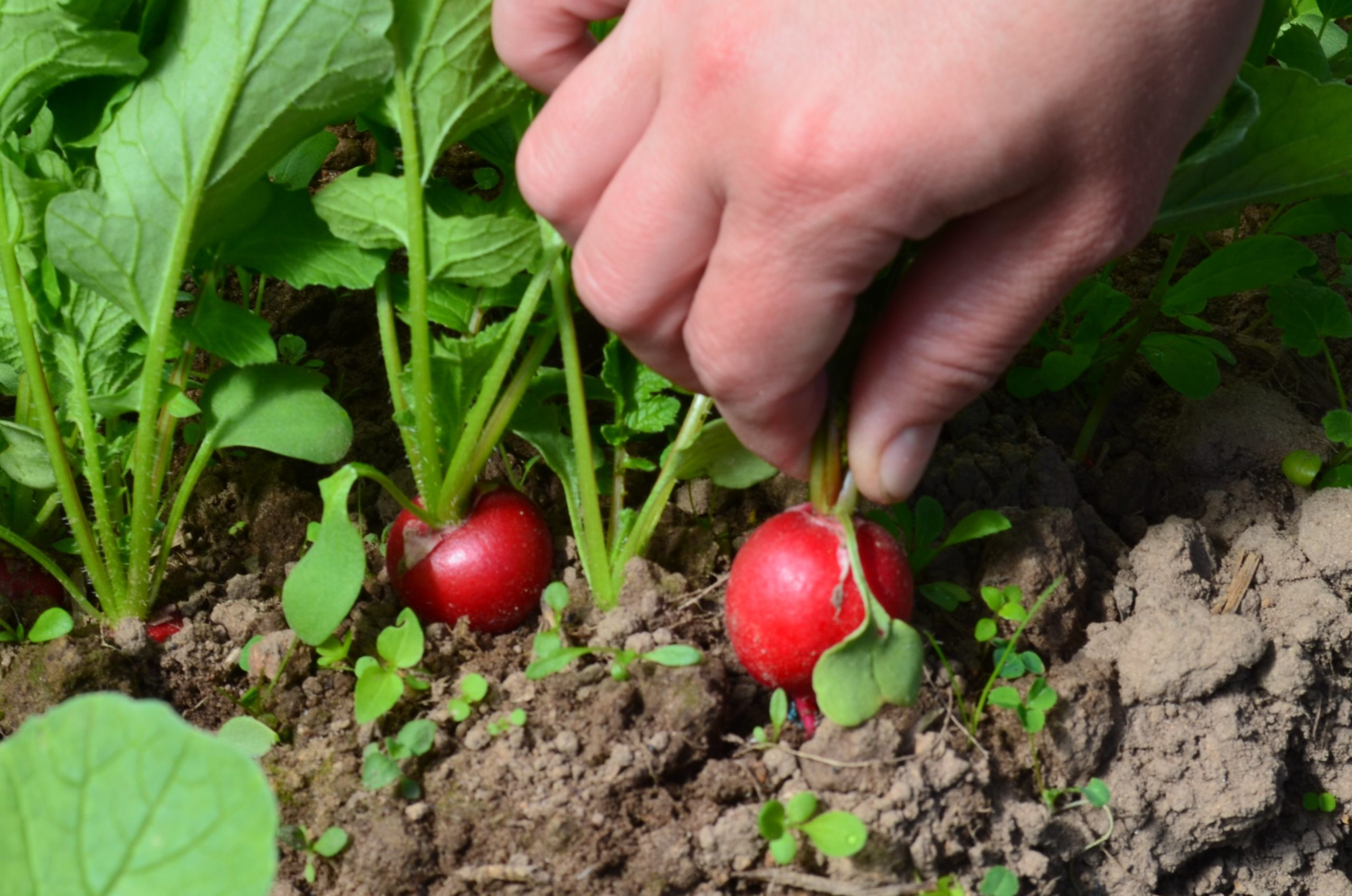 Посев редиски в теплице ранней весной: когда начинать посадку и как ухаживать?