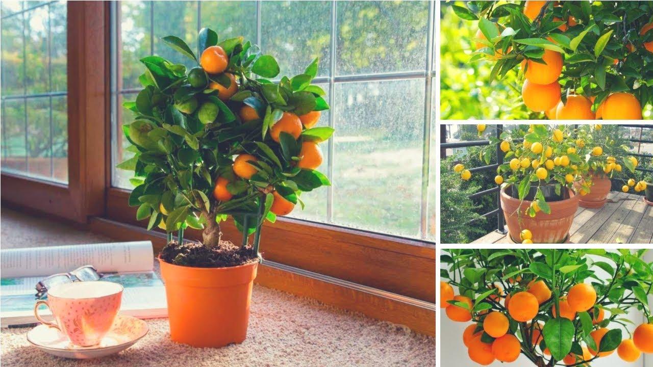 Уход за апельсином