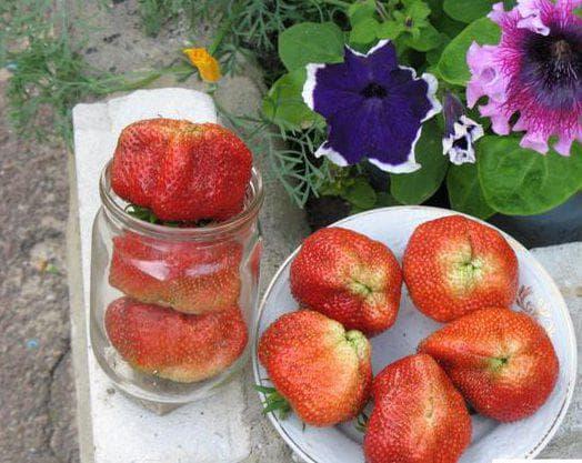 Сорт садовой клубники «чамора туруси»: характеристика и фото. особенности размножения клубники сорта «чамора туруси»