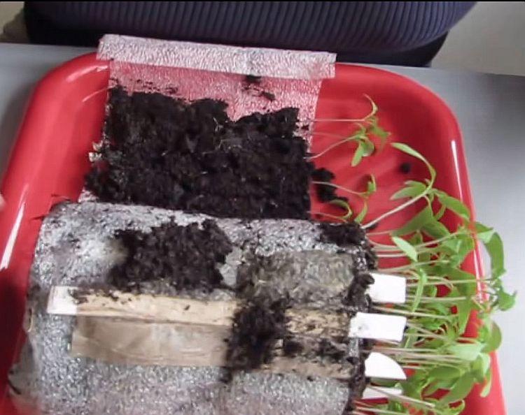 Выращивание томатов без пикировки: посадка, уход
