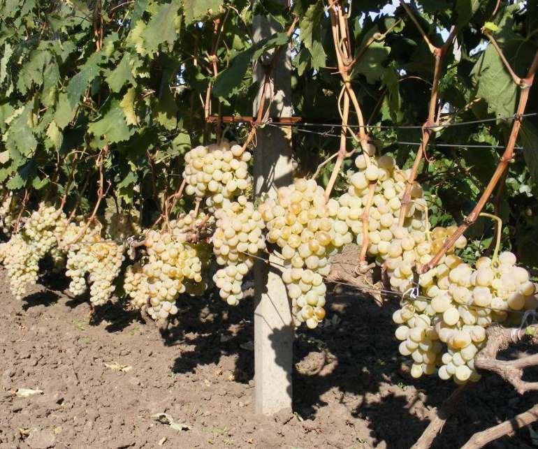 Виноград антоний великий: описание сорта