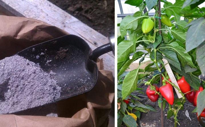 Зола как удобрение для перца: как правильно подкормить, сроки