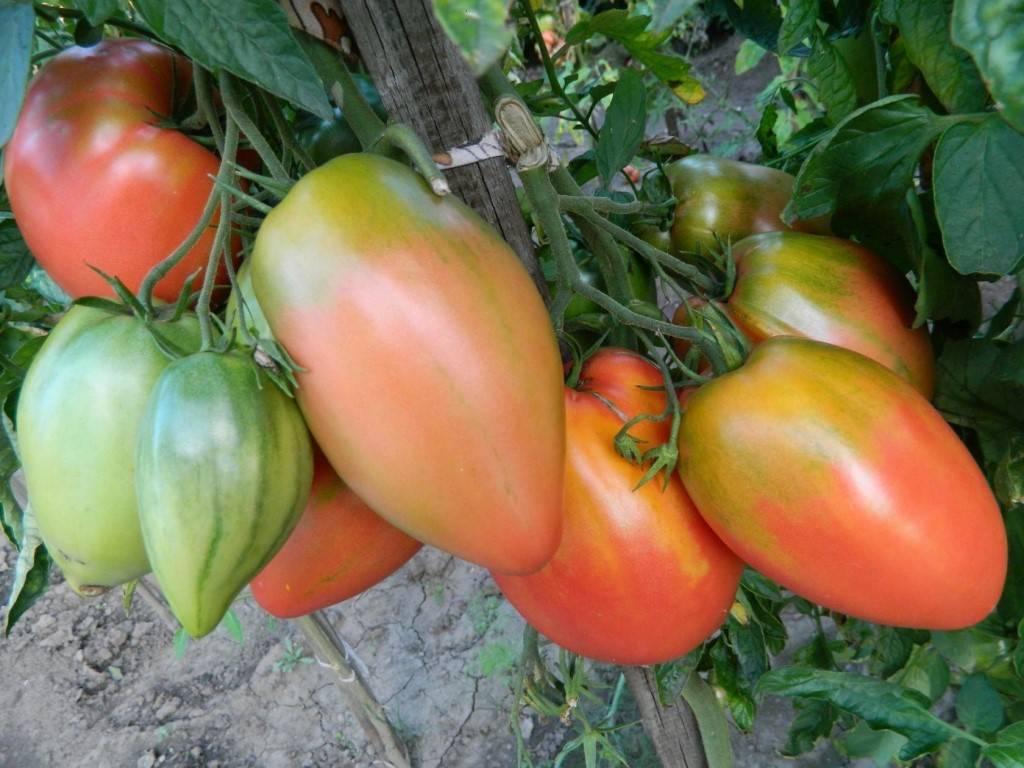 Подсинское чудо – как вырастить сладкие сливовидные томаты, подробное описание и советы по уходу