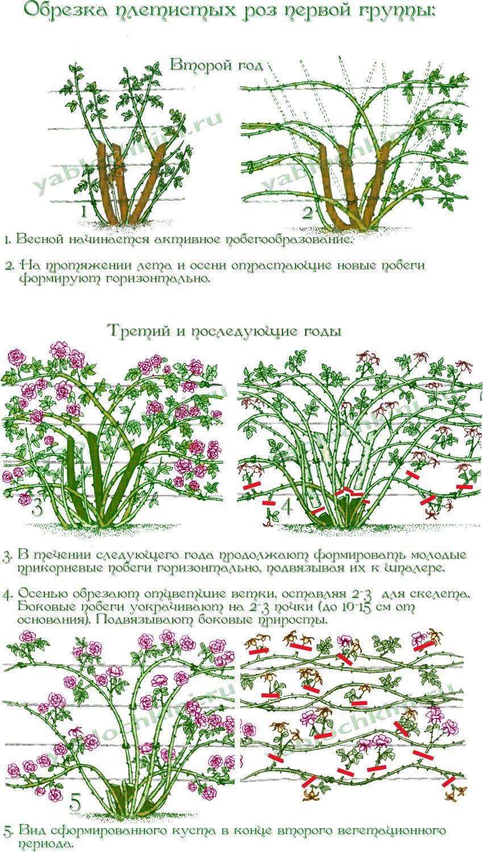 Плетистая роза: сорта, названия, описание с фото, размножение, пересадка, особенности ухода, использование и советы специалистов - sadovnikam.ru