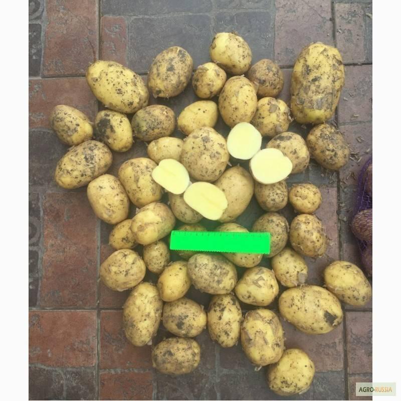 Картофель сорта коломбо: характеристика, описание, особенности выращивания и ухода