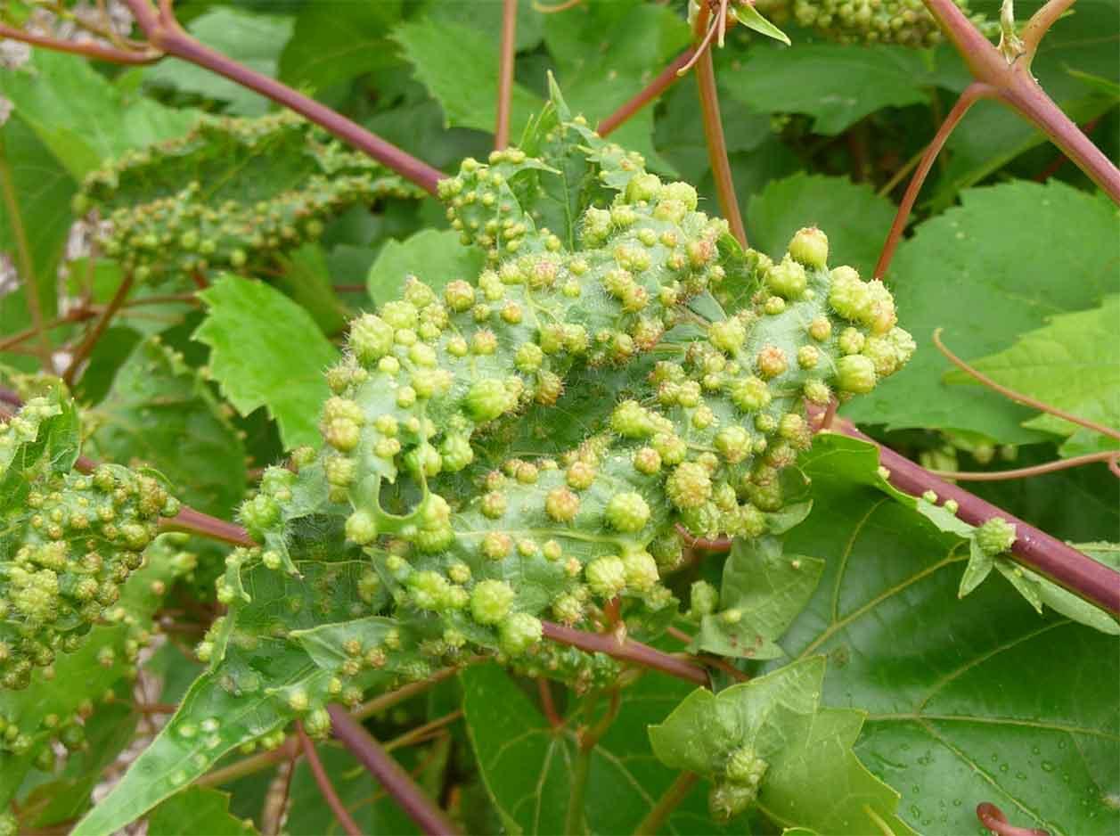 Обработка винограда в апреле 2019 - подробное описание самых опасных вредителей и угроз с фотографиями больных растений, наиболее эффективные способы защиты винограда от них | спутниковые технологии