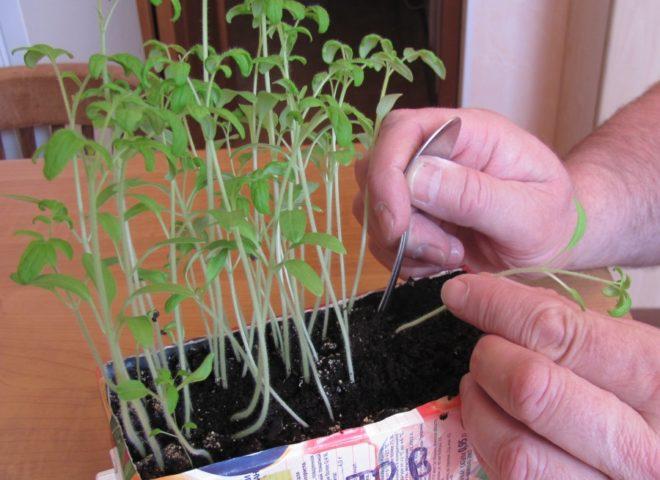 Как пикируют томаты для получения хорошего урожая: секреты огородников
