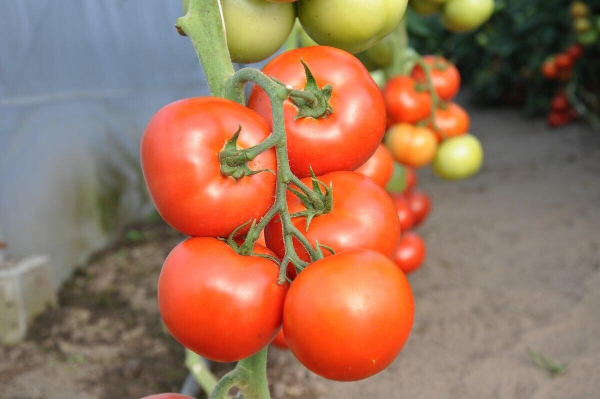 Томат рубиновые пальчики f1: отзывы об урожайности премиум черри, описание и характеристика сорта, фото семян