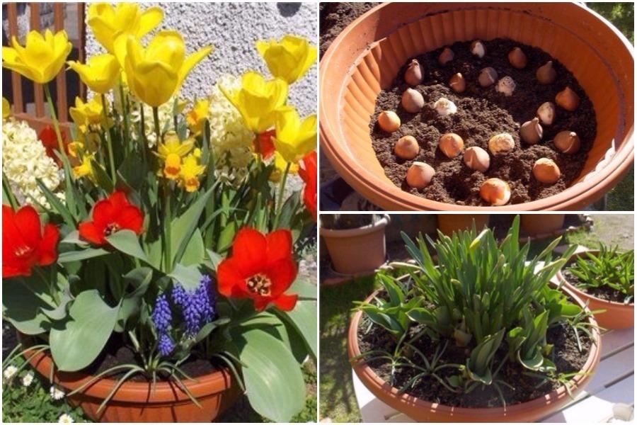 Аристократичная фрезия: особенности выращивания в саду, домашних условиях и теплице